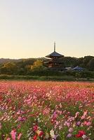 奈良県 法起寺 コスモス