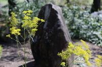 滋賀県 秋の七草 女郎花(オミナエシ)