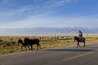 中国 ウイグル自治区 巴里坤 放牧 ロバ
