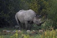ナミビア エトーシャ国立公園 サイ