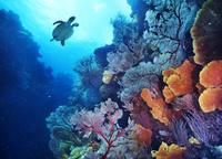ニューカレドニア ポアンディミエ タイマイ(海亀)/ソフトコー...