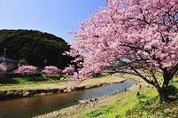 静岡県 河津町 河津桜の桜並木と河津川