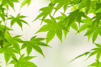新緑のもみじ葉
