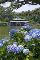 東京都 清澄庭園 アジサイ