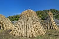 滋賀県 ヨシ刈りで束ねたヨシ
