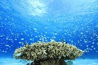 慶良間諸島 海中のサンゴ礁