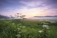長野県 八島ケ原湿原のシシウドと朝日