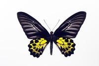 蝶 標本 キシタアゲハ フィリピン