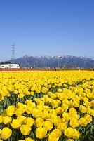 新潟県 菅名岳とチューリップ畑
