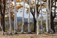 蒜山高原の白樺