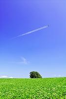 北海道 緑の豆畑の丘と飛行機雲
