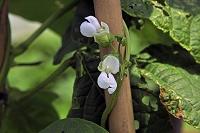 神奈川県横須賀 ツルありインゲンの花