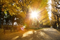 東京都 神宮外苑銀杏並木