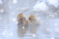 長野県 地獄谷野猿公苑 露天風呂で毛づくろいするニホンザル