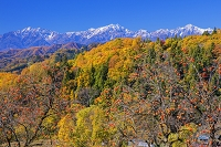 長野県 カキと北アルプス(爺ヶ岳,鹿島槍ヶ岳,五竜岳)