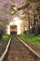 青森県 芦野公園を走る津軽鉄道(走れメロス号)と桜