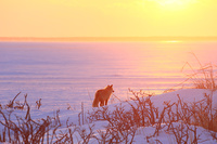 北海道 野付湾の夕日とキタキツネ