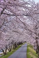 岐阜県 宮川の桜並木