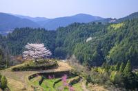 高知県 有瀬の一本桜