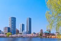 上野公園 桜満開の不忍池