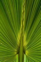 父島 固有種 オガサワラビロウの葉