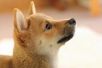 横を見る豆柴犬