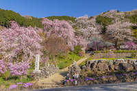 東京都 桜咲く龍珠院