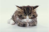 丸くなって寝る猫(Norwegian Forest Cat)