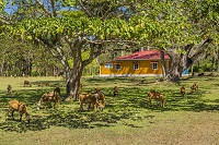 キューバ ビラン カストロの生家(カストロ家の村) ヤギ