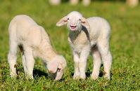 ドイツ 2頭の子羊