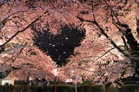青森県 弘前城 夜桜のハート形