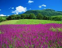 熊本県 瀬の本高原・ミソハギの花