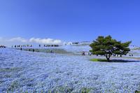 茨城県 国営ひたち海浜公園のネモフィラ