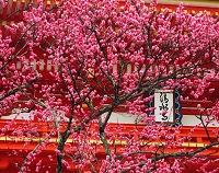 京都府 清水寺山門の紅梅