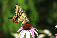 キアゲハ 花はムラサキバレンギク
