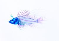 ハナミノカサゴ 透明骨格標本