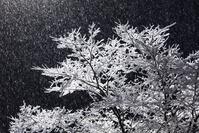 着雪した木