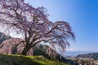 山梨県 乙ヶ妻の枝垂桜