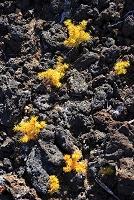 山梨県 富士山の砂礫に芽吹くハイマツの幼木