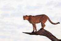 南アフリカ チーター