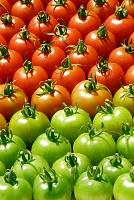 たくさんのトマトのグラデーション