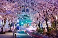 東京都 六本木 春のさくら坂