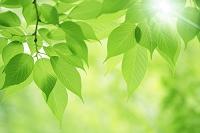 新緑の葉と光