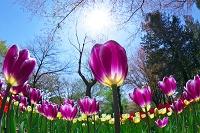 チューリップの花と太陽