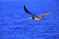 太平洋上を飛ぶ雌のカツオドリ