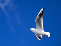青空を飛ぶカモメ