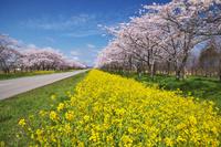 秋田県 桜並木と菜の花ロード