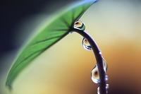 里芋の葉の水滴に映る花 雨上がり
