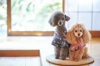 浴衣を着たトイプードル 犬