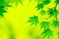 北海道 楓の葉の新緑